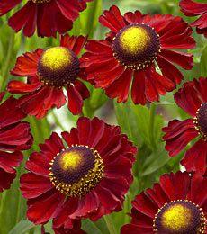 helenium red, white flowers, farms, fans, colors, perennial plants, red jewel, design, flower farm