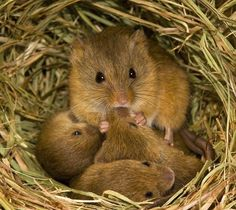 A cute field mouse family