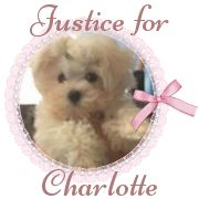"""SHARING FOR CHARLOTTE, the 2 lb, 11 wk old puppy who is fighting for her life. Her former owner, Ms. Ivanchenko was charged with several animal cruelty acts, including torture, not feeding the animal and abandonment, police said. According to the criminal complaint, Ms. Ivanchenko told police, """"Just give me my misdemeanor so I can get out of here. It's just a dog."""" JOIN THIS PAGE FOR UPDATES, PETITIONS, ETC. PLS JOIN!  https://www.facebook.com/pages/Justice-for-Charlotte/695917233834861"""