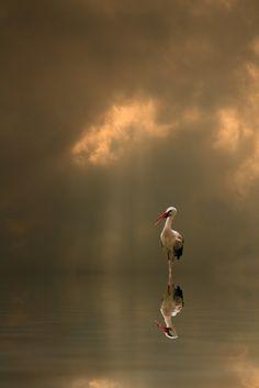 Stork reflection