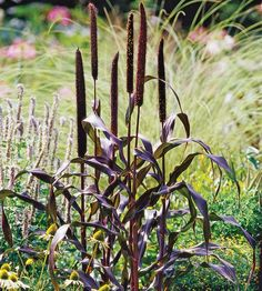 Purple Millet - annual  This incredibly tough annual grass offers fantastic burgundy foliage and rich purple foliage that look like fuzzy cattails. The plants are beautiful and attract birds.    Name: Pennisetum glaucum    Growing Conditions: Full sun or part shade and well-drained soil    Size: To 5 feet tall    Zones: Annual    Plant This Grass Because: It has rich purple foliage.