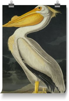 Epic Posters of American White Pelican, Pelecanus Erythror by Natural History Museum (900mm x 1200mm) | Shop | Surface View