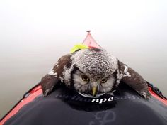 An exhausted northern hawk owl resting on a canoe's deck on Lake Tuusula, Finland