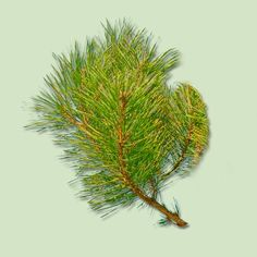 The most popular tree in the U.S., the Scotch Pine is symmetrical and dense-looking with bright green needles that resist shedding and have a lasting, pleasant piney aroma. The branches are sturdy, so bring on the heavy decorations. | Photo: DDCoral/ShutterStock | thisoldhouse.com