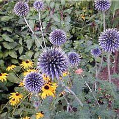 Echinops Veitch's Blue  Globe Thistle  - Summer  Perennials