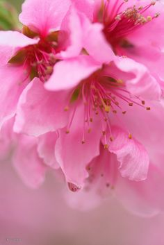 #pink blossoms
