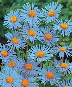 Aster Wonder of Staffa Plant