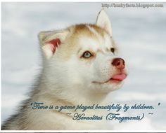 Funny husky pictures, Siberian husky, husky