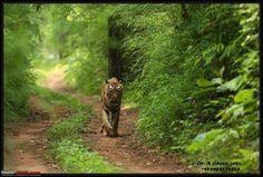 "TRAVEL OF A LIFETIME: ""SEX IN A JUNGLE"", Tadoba-andhari Tiger Reserve, Maharashtra, India"