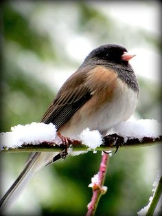 Dark-eyed Junco Bird in snow near Seattle Washington 2/23/2011