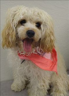 Petfinder  Adoptable | Dog | Poodle | Littleton, CO | Shirley Click on pic for additional info on this furry baby♥