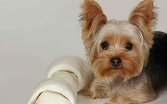 anim, yorkie, cutest dogs, small dogs, puppy pictures