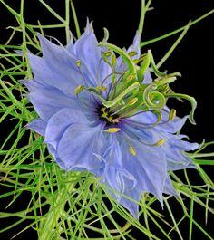 ~~Love In The Mist (Nigella) - Ranunculus by Kev Vincent~~