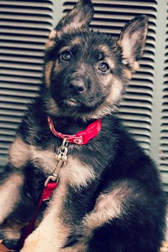 German Shepherd Puppy omg <3'