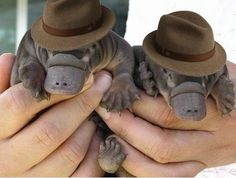 here are two baby platypuses wearing fedoras.