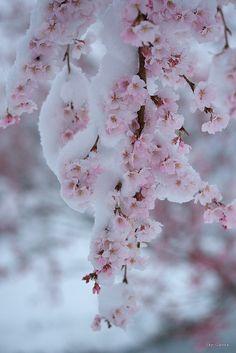 pink flowers, winter, cherri blossom, snow, blossom trees, cherries, early spring, garden, cherry blossoms