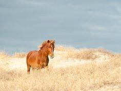 A wild horse roams the dunes near Corolla, North Carolina.  Photo by Eve Turek.
