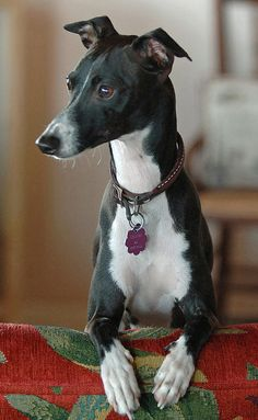 Holden the Italian Greyhound