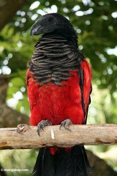 pesquet's parrot        (photo via mongabay)