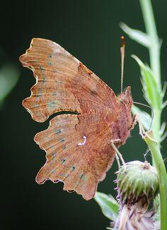 Comma Butterfly...