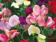 The sweet pea offers a wide range of flowering annuals, most are climbers and many are highly scented. Flowers in almost every color except yellow. pea climber, colorful flowers, sweetpea, flowering plants, seed, shades of red, climb plant, sweet peas flowers, garden