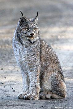 Denali National Park Wildlife   This Lynx photo taken at the Denali National Park, Alaska...