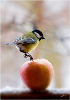 Birdie on an apple
