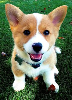 Corgi puppy, here to make your day better!