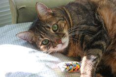 Chuck  Tabby cat