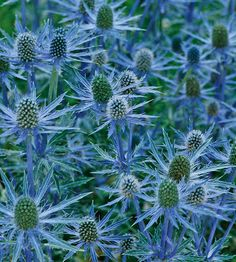 'Big Blue' Sea Holly for sunny garden,  deer-, rabbit-, and drought-resistant perennial shows off silvery foliage and iridescent silvery-blue flowers in midsummer...wonderful cut flower and  prime choice for butterfly gardens.  Name: Eryngium 'Big Blue'   Full sun  well-drained soil  Size: To 30 inches tall and wide  Zones: 4-9  BLOOMS JULY-SEPT.