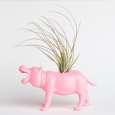 hippo air plant    love the pink