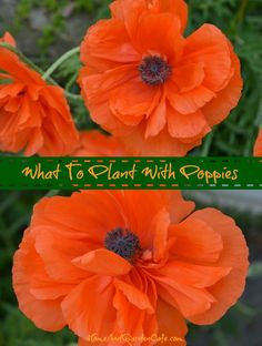 What to plant/pair with poppies in the spring garden