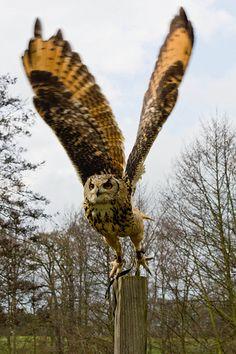 Eagle Owl taking off Pinned by www.myowlbarn.com