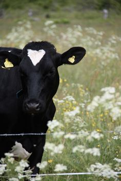 cow love ~ we have some cows with similar markings!