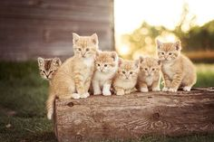 Orange kittens sitting on top of a log :)