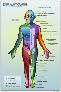 Dermatomes, nerve roots and peripheral nerves!