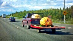 Only in Alaska do you need a flat bed for your gigantic pumpkin. LOL  On the way to the Alaska State Fair.