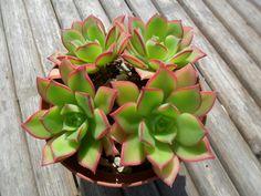 Aeonium Succulent Plant