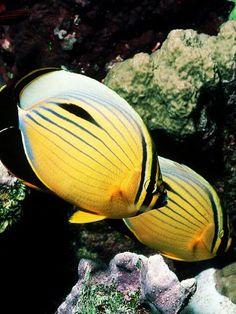 Triangular #ButterflyFish