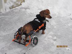 Orange Dachshund dog wheelchair