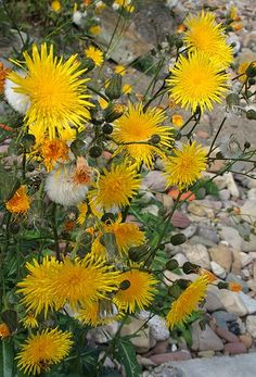 Sow Thistle Sonchus spp. young leaves are edible raw. young leaves are best after boiling in at least one change of water. varieties in the ...