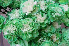 green-carnations