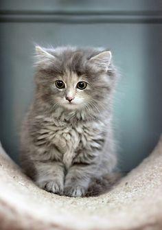 89cats:  Miss Caddy von Cattenburg by .Brooke.Anderson. on Flickr.