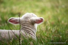 Lamb in Surrey, England at Easter | http://www.aladyinlondon.com
