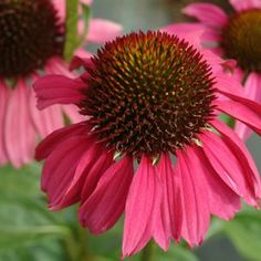 Buy Echinacea Raspberry Tart Perennial Plants Online. Garden Crossings Online Garden Center offers a large selection of Coneflower Echinacea Plants. Shop our Online Perennial catalog today!