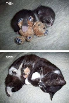 kitten with stuffed toy, and then same toy with the same cat when he is grown up. AWWWW