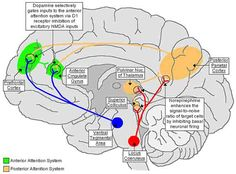 THE NEUROBIOLOGY OF ATTENTION-DEFICIT HYPERACTIVITY DISORDER. Repinned by SOS Inc. Resources @sostherapy.