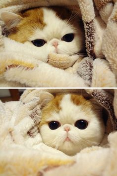So cute! Scottish fold.