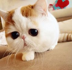 Snoopy The Cat. Yes, he is real, he is an exotic shorthair and most of his breed are as cute as this XD