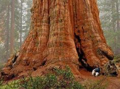 General Sherman Tree. The largest in the world. It is a giant sequoia located in the Giant Forest of Sequoia National Park in Tulare County, California #garden #landmark ✿